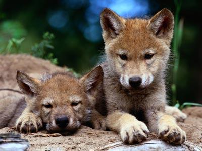 grey-wolf-pups